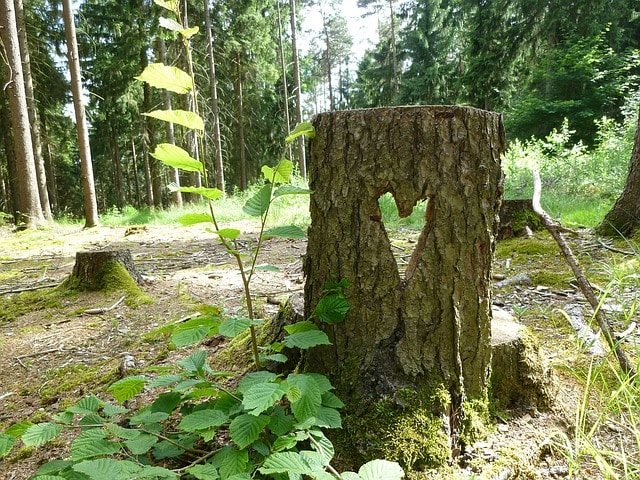 Tree Stump and Stump Sprouts