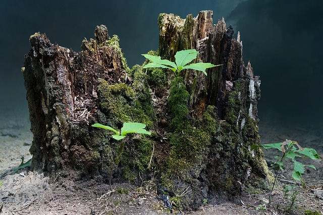 Tree Stumps and Shoots